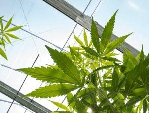 Cannabis plants